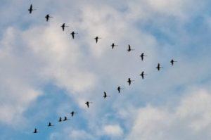 Чему можно научиться у гусей и уток?